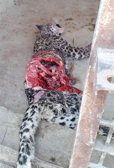 Leopard cubs abandoned and starving in closed down Yemen