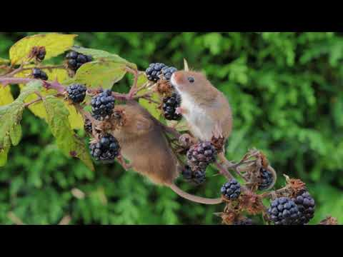 British Mice Types - Harvest, Wood & Yellow-Necked Facts