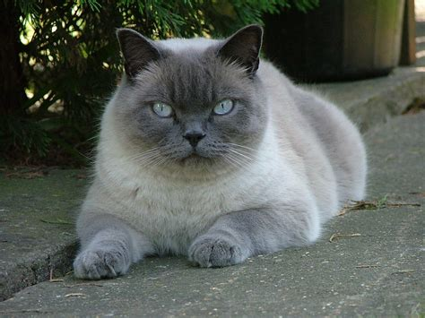 British Shorthair-Colorpointed Cat Breed — Everything