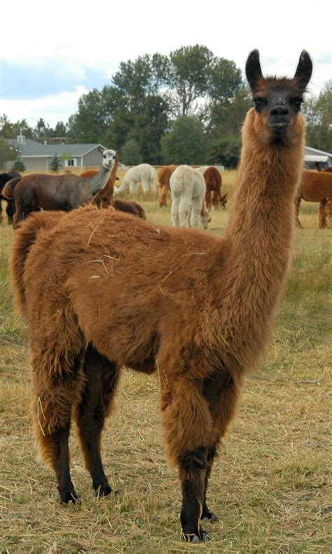 Llama Pictures - Kids Search
