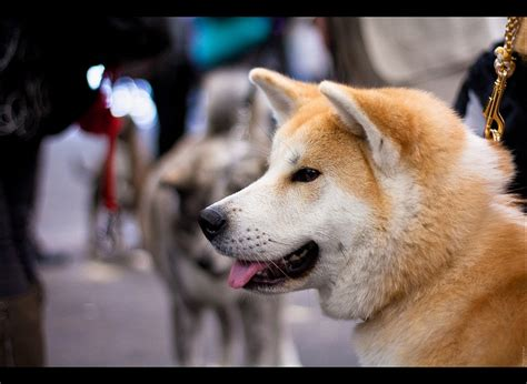 52 best images about Hachiko A Dog's Story on Pinterest