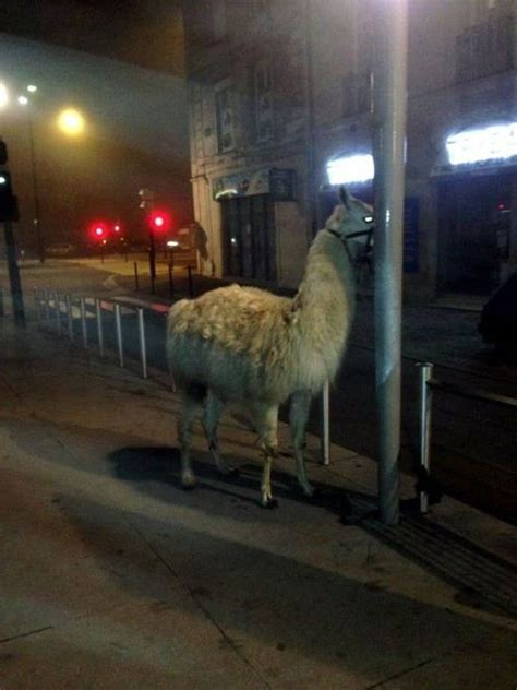 French Teens Partying with a Llama   Others
