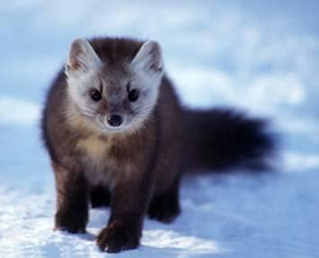 The mustelidae at Brigham Young University - StudyBlue