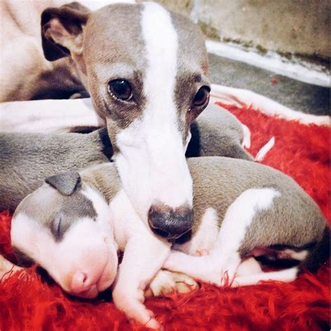 Greyhound Breed Description: History and Overview