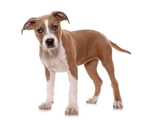 American Staffordshire Terrier Dog Breed » Everything